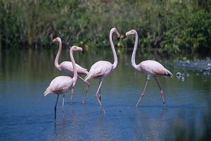Flamingos auf Isabela