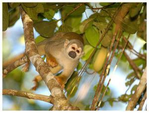 Manatee Amazon Explorer - Affe im Urwald