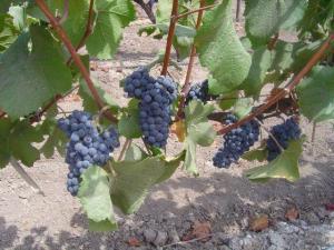 Weintrauben (Pinot Noir) in Chile