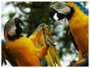 Manatee Amazon Explorer - Aras