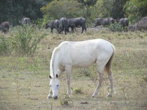 Pferde und Büffel im Pantanal