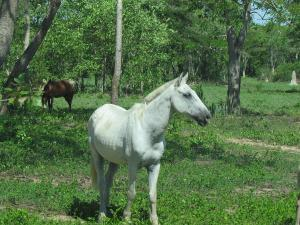 Pferde im Pantanal