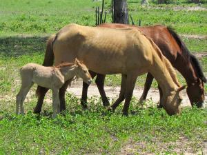grasende Pferde