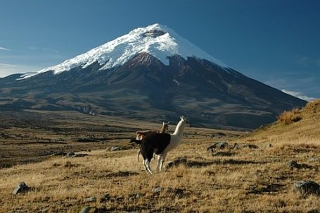 Lamas vor dem Cotopaxi Vulkan