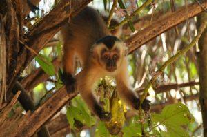 kleiner Kapuzineraffe im Pantanal