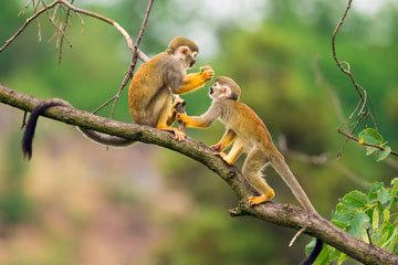 Affen-im-Urwald-von-Suriname