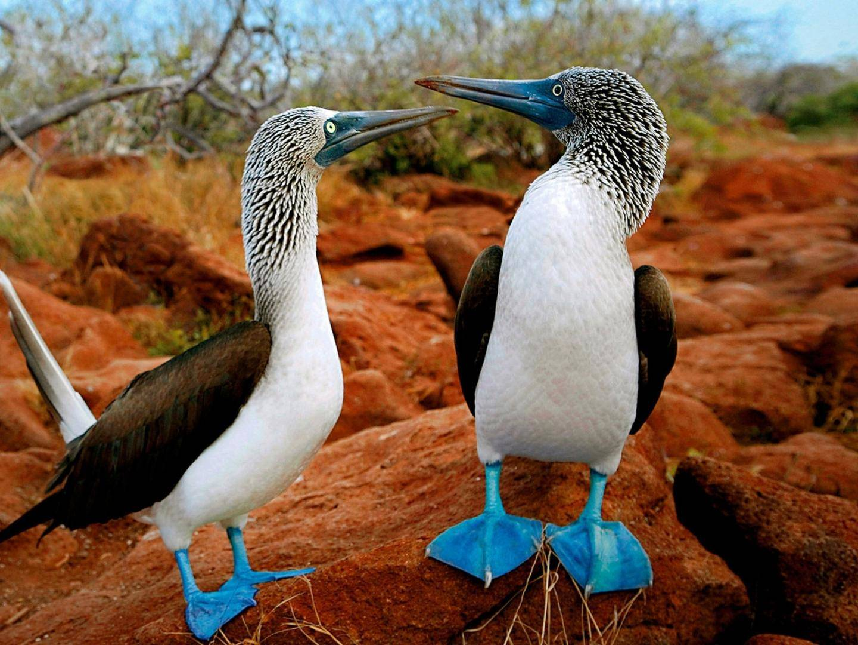 Blaufußtölpel auf den Galapagos Inseln