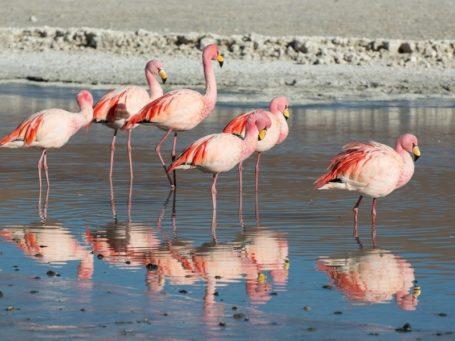 Flamingos am Salar de Uyuni
