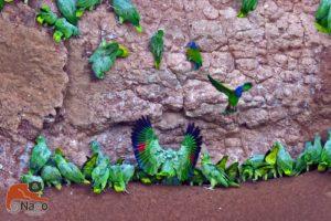 Papageien an der Salzleckstelle