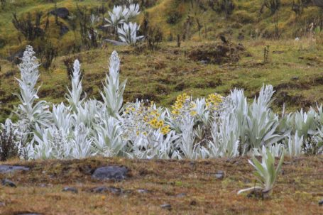 Frailejones im Chingaza Nationalpark