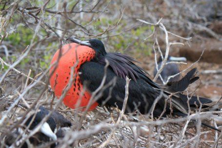 Fregattvogel auf Galapagos