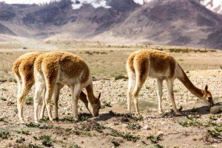 Vicuñas vor dem Chimborazo