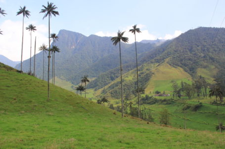 Wachspalmen im Cocora-Tal