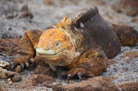 Landleguan auf Plaza Sur - Galapagos