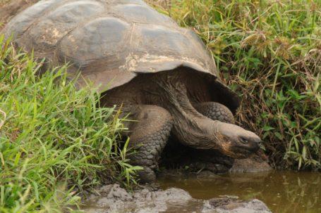 Riesenschildkröte auf Galapagos