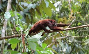 Brüllaffe im kolumbianischen Urwald