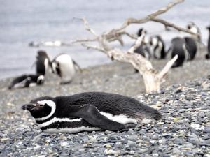 Pinguine im Naturschutzgebiet Punta Tombo