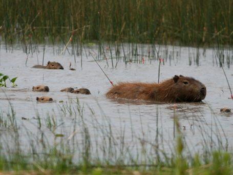 Capybaras - Wasserschweine