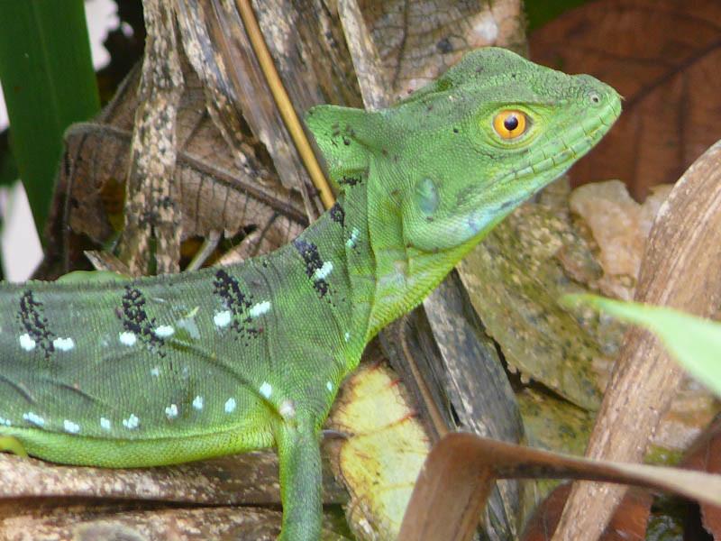 Helmbasilisk in Costa Rica