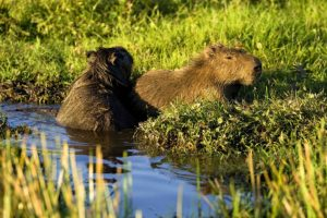 Wasserschweine - Kapybaras