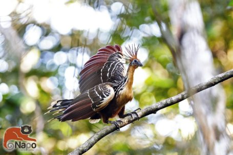 Hoatzin - Stinkvogel