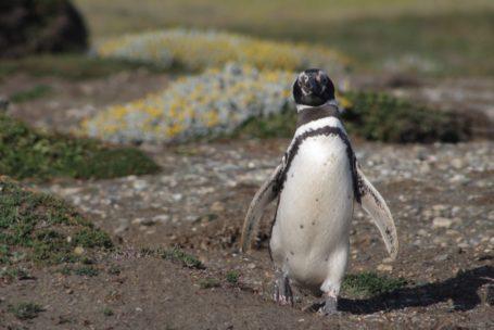 Magellan Pinguin auf Kap Hoorn