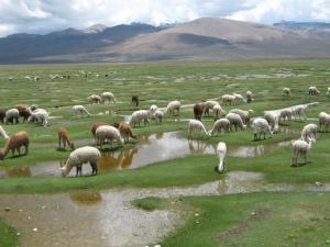 Alpacas in den Anden