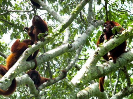 Affen im peruanischen Urwald