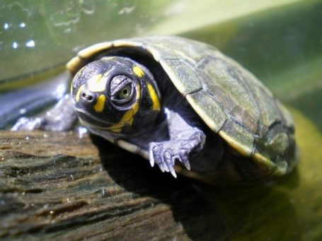 Pacaya Samiria Lodge - Schildkröte