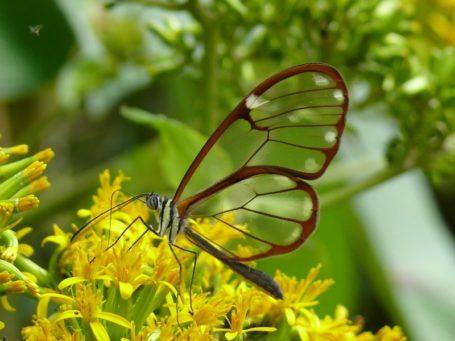 Ein Schmetterling in Panama