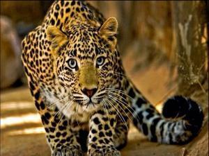 Leopard im Pantanal
