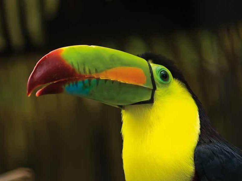Ein Tukan in Mittelamerika