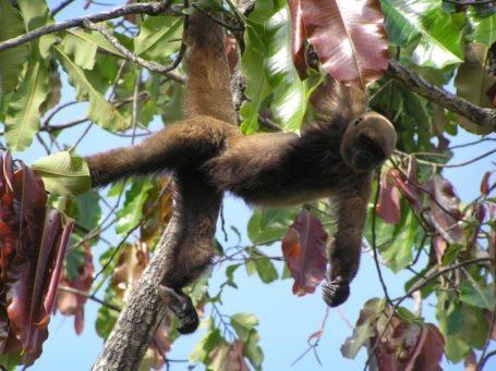 Affe im peruanischen Urwald